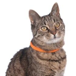 Katze-Leuchthalsband