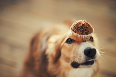 Hund Muffin