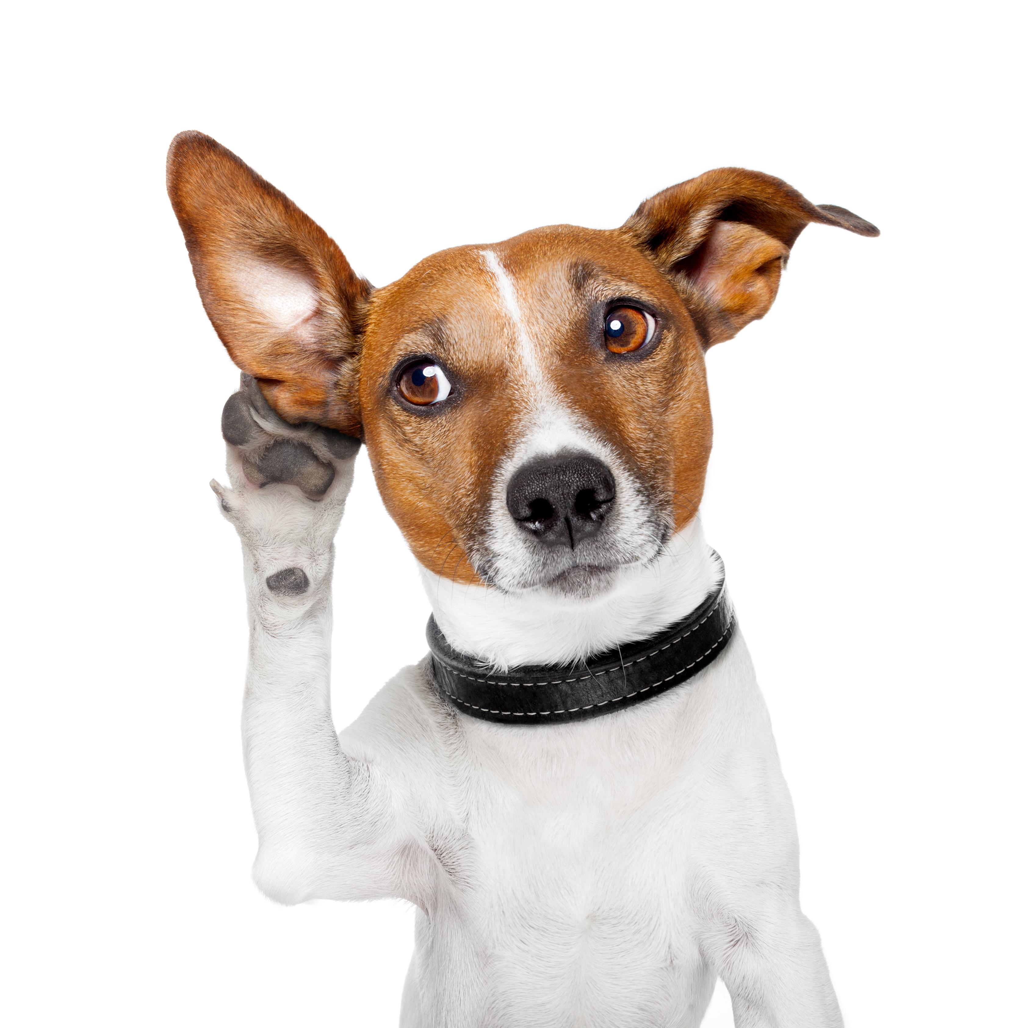 Hund Pfote am Ohr