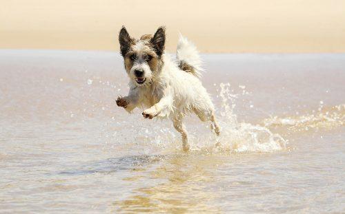 Jack russell Hund springen ein wave am Strand iStock_000060230518_Large-2