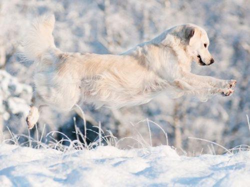 Golden-Retriever-Springen-Schnee