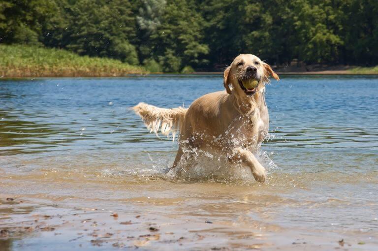 Der Golden Retriever liebt Wasser
