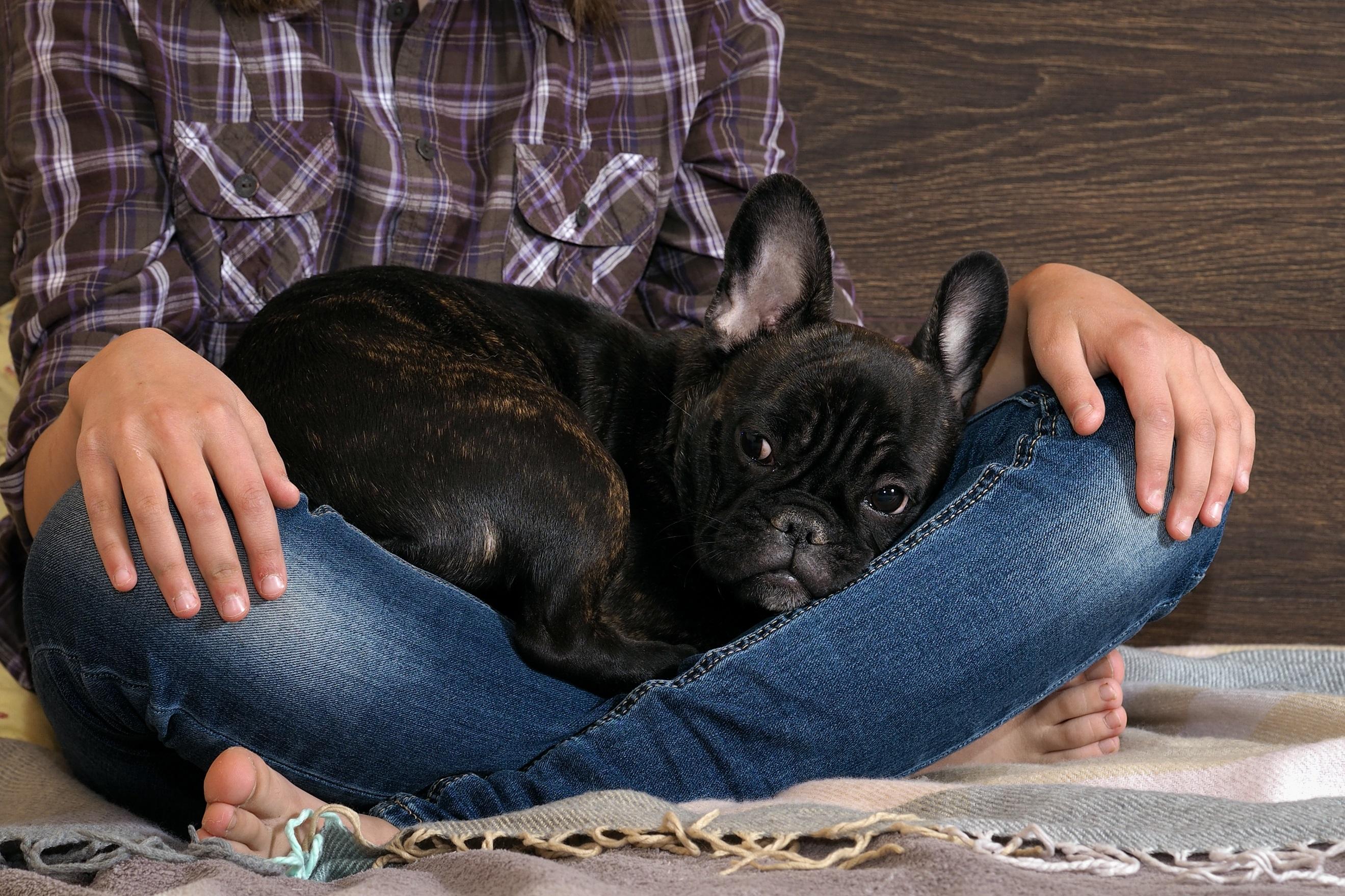 franz sische bulldogge steckbrief mein. Black Bedroom Furniture Sets. Home Design Ideas