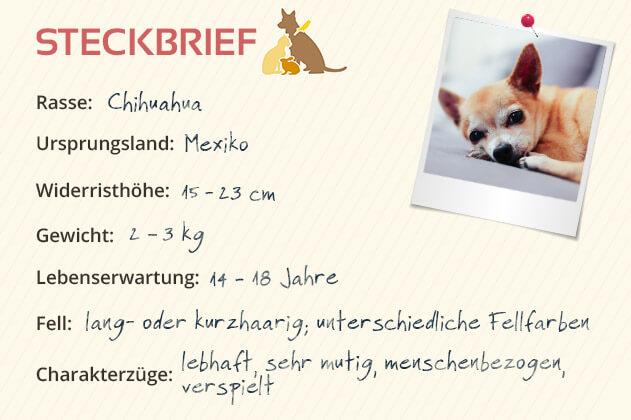 Chihuahua Steckbrief