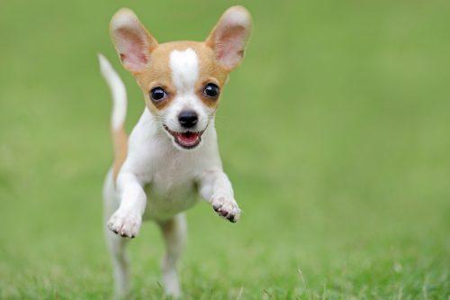 Chihuahua steckbrief mein haustier