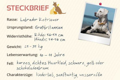 Labrador Retriever Steckbrief
