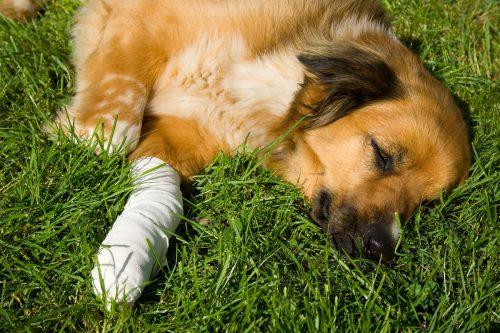 Hund mit Verband, nach dem Tierarztbesuch