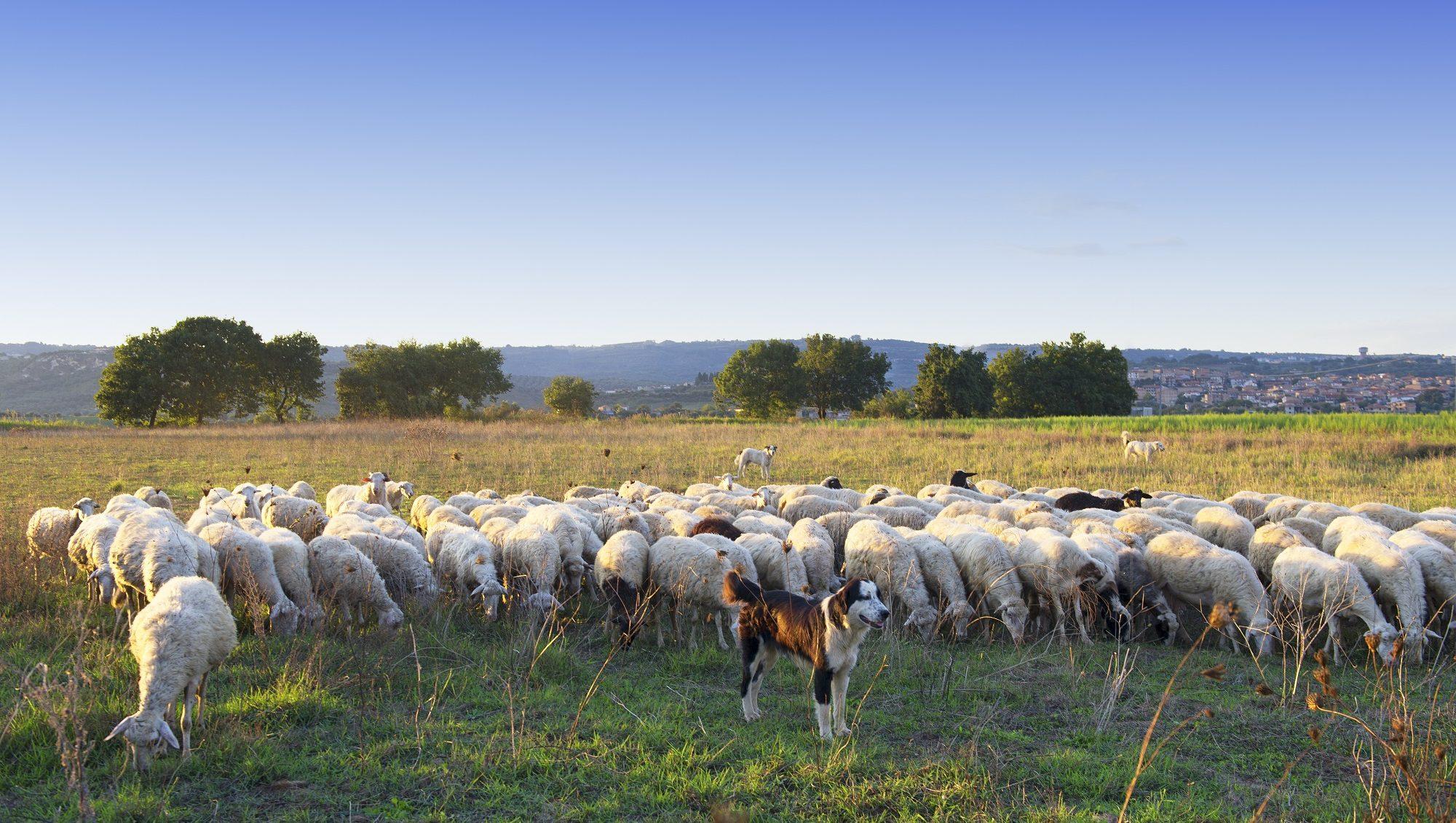 Schafsherde eines Schäfers