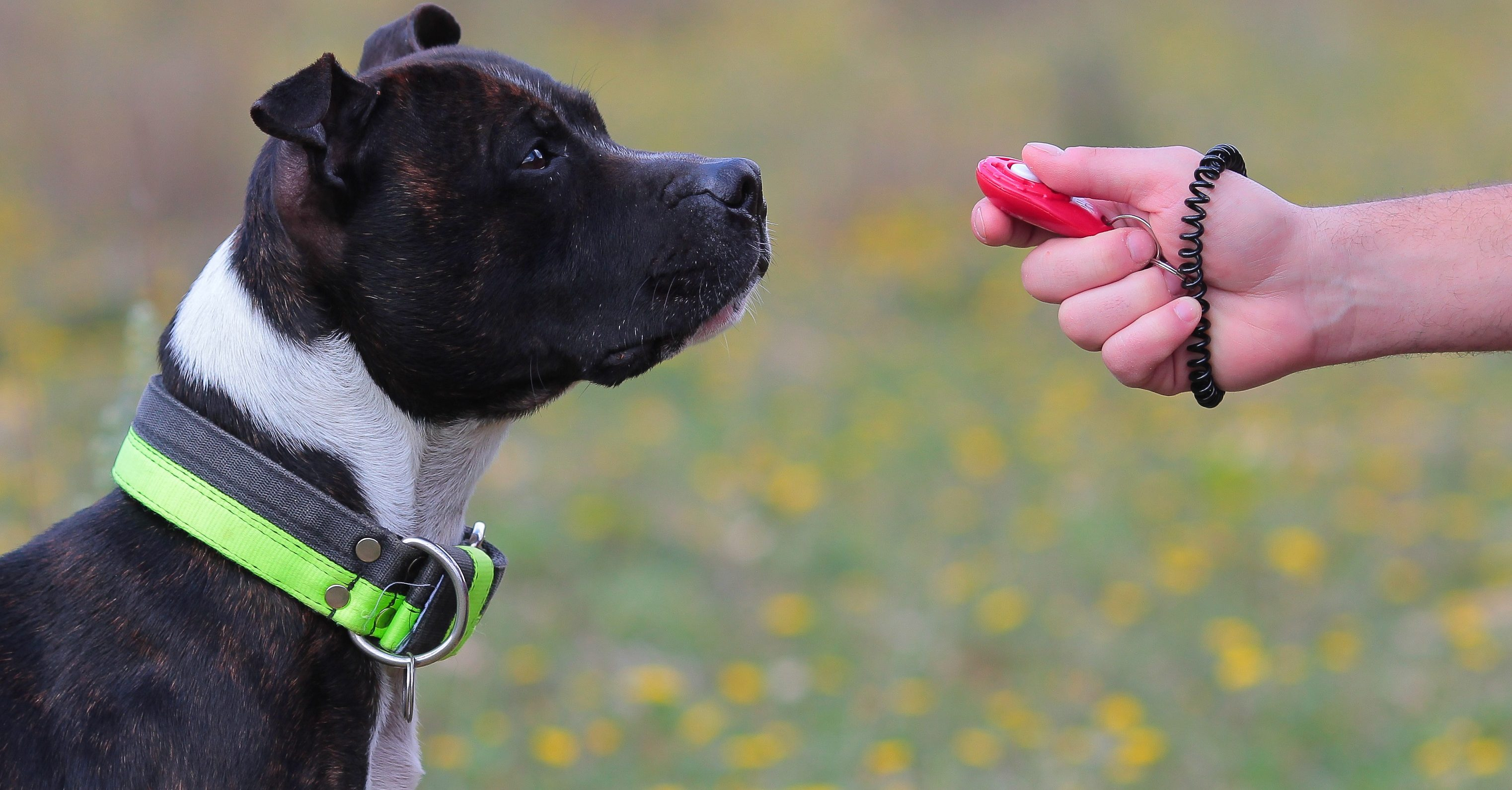 Hundetrainer trainiert einen Hund mit dem Clicker