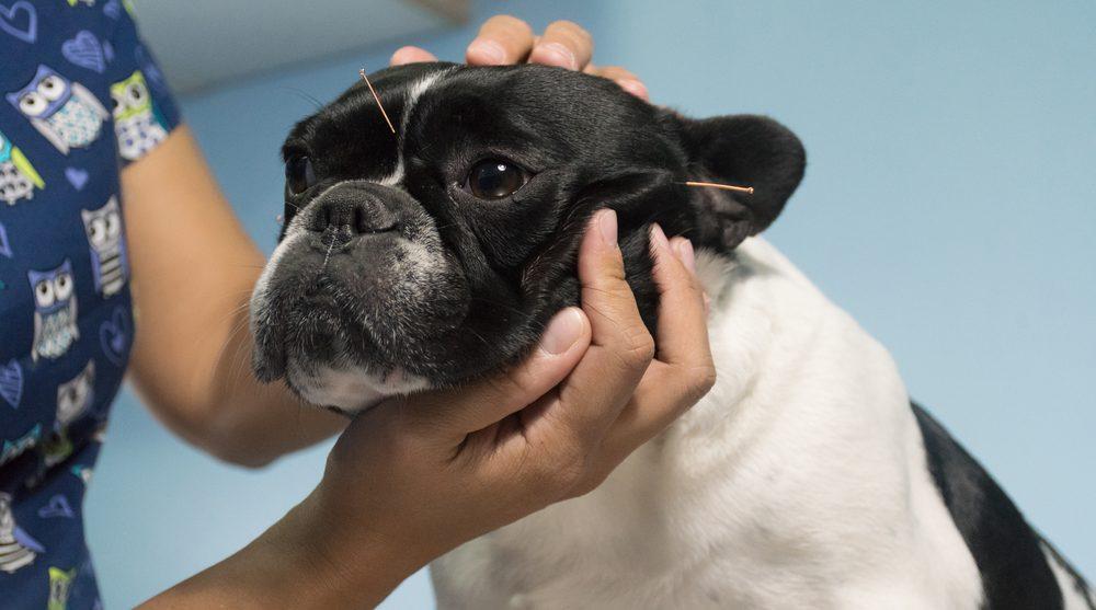 Tierheilpraktiker wendet Akupunktur beim Hund an