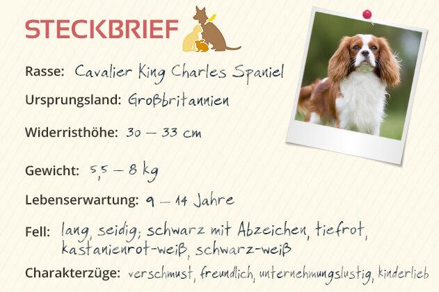 Steckbrief Cavalier King Charles Spaniel