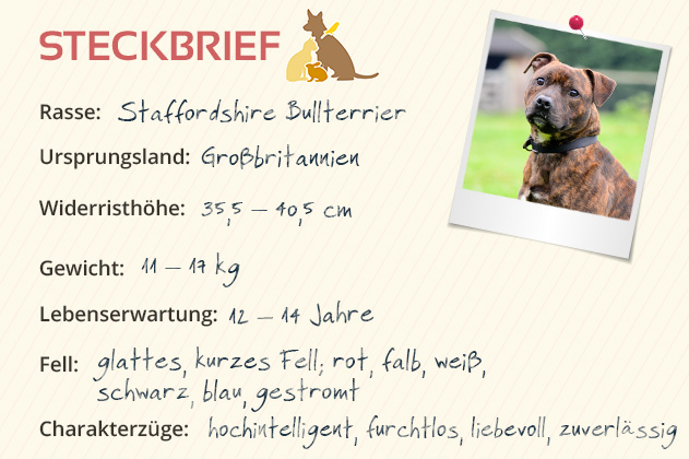 Staffodshire Bullterrier Steckbrief