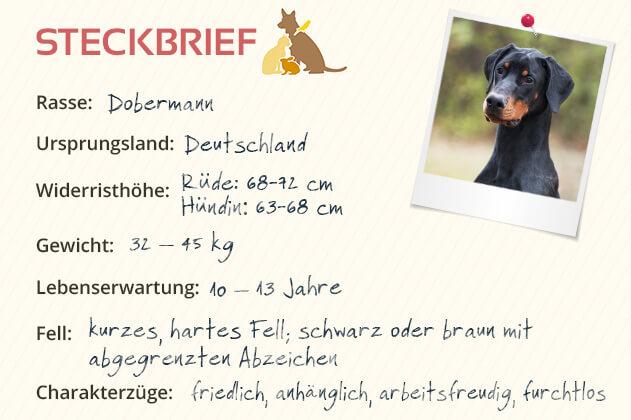 Dobermann Steckbrief
