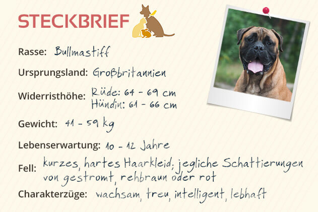 Bullmastiff Steckbrief
