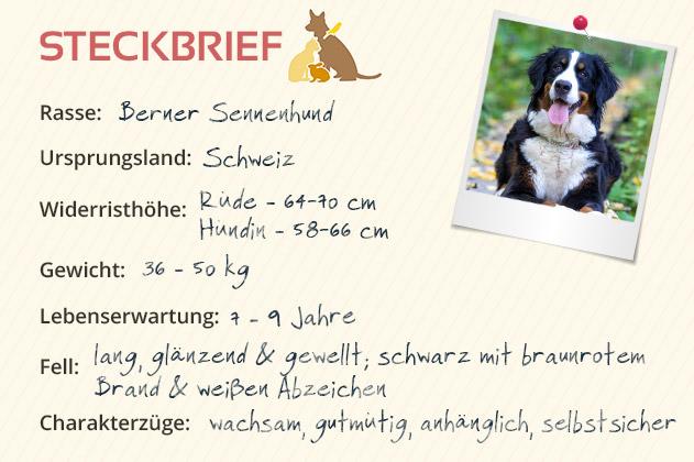 Berner Sennenhund Steckbrief