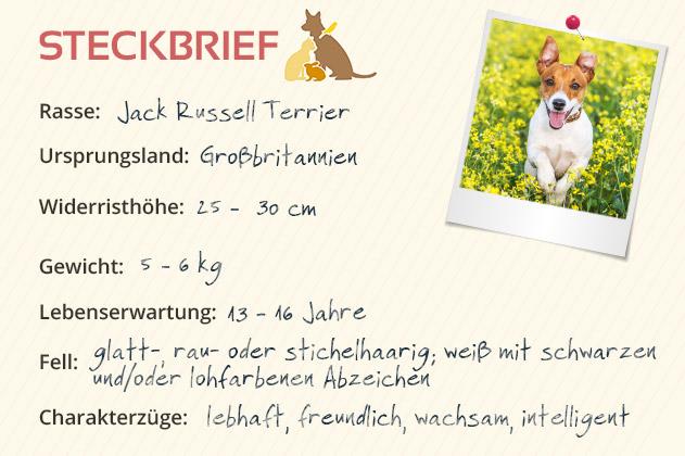 Jack Russel Terrier Steckbrief