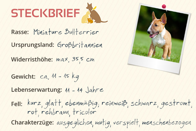 Miniature Bullterrier Steckbrief