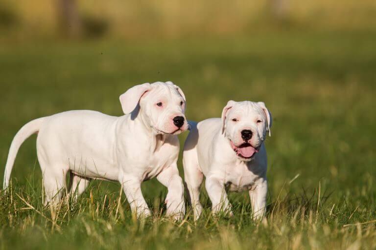 Zwei niedliche Dogo Argentino Welpen