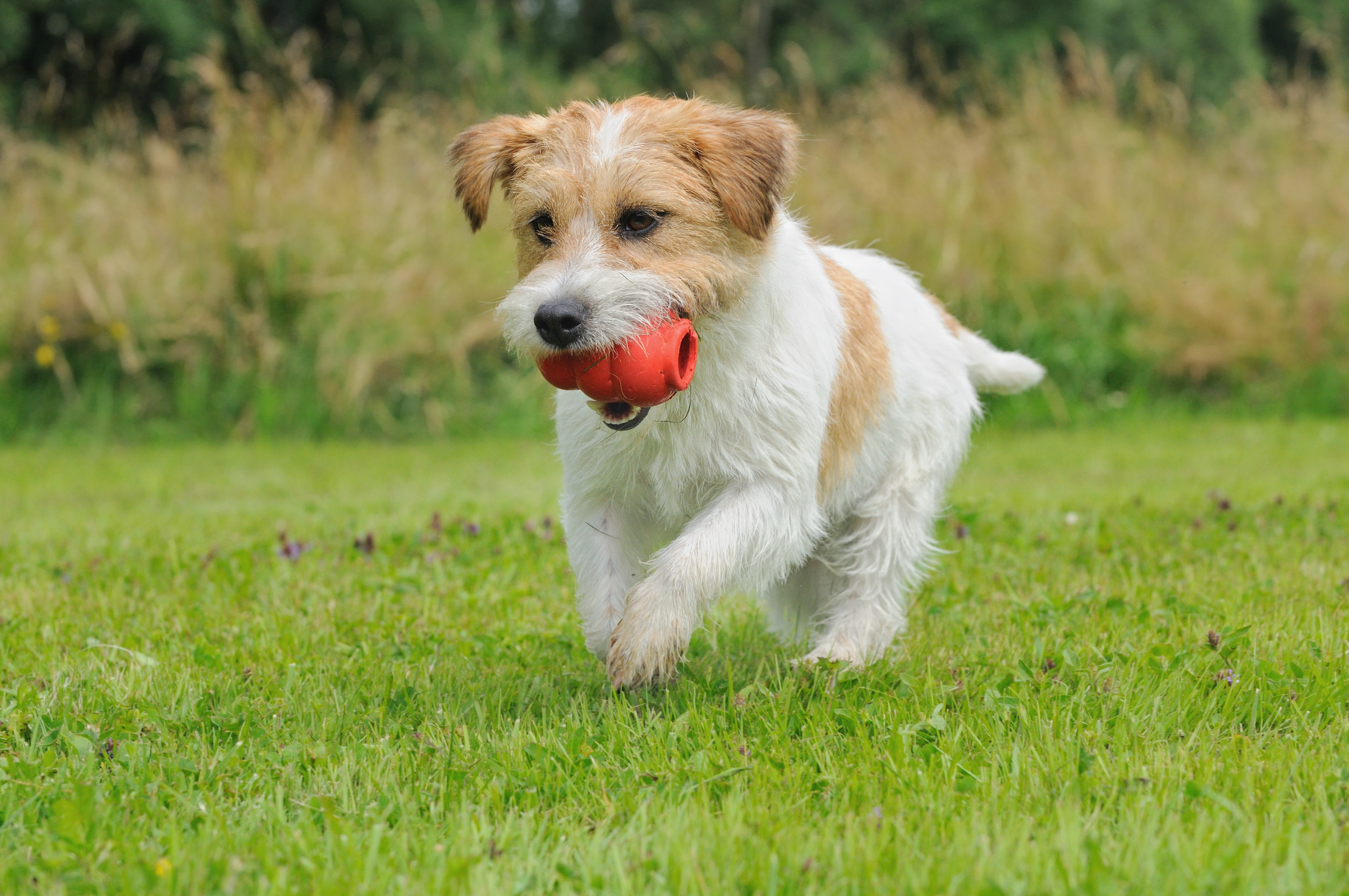 Jack Russell Terrier spielt