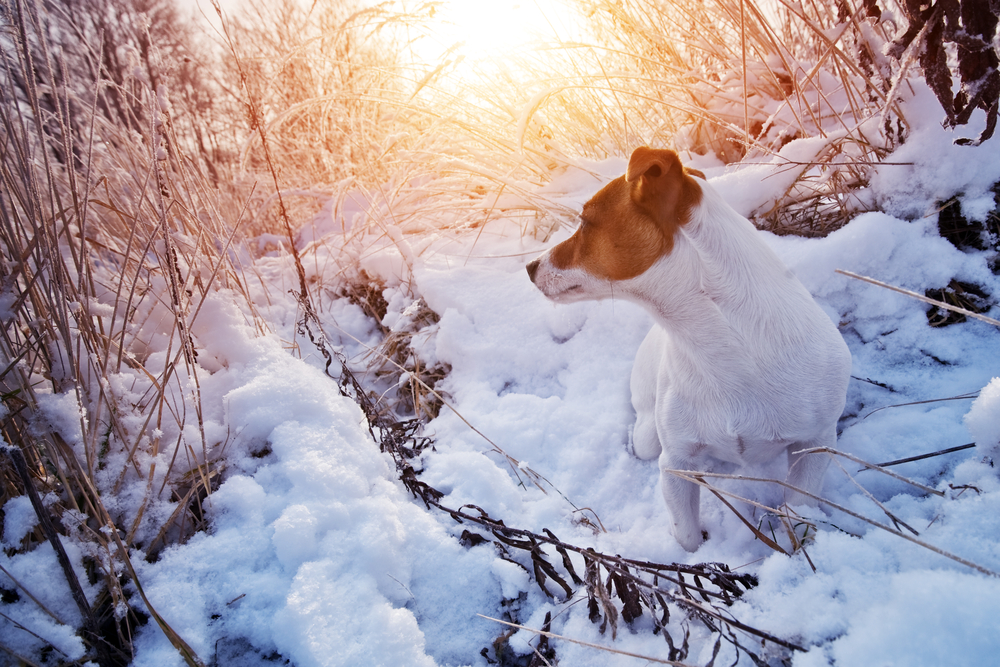 Jack Russell Terrier im Schnee
