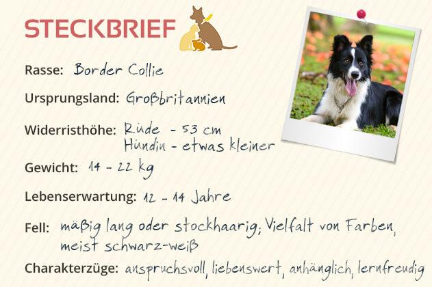 Border Collie Steckbrief