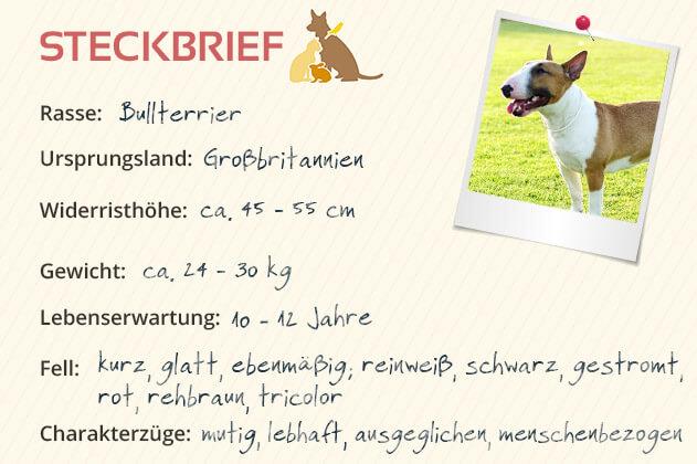Bullterrier Steckbrief