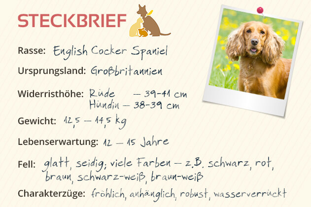English Cocker Spaniel Steckbrief