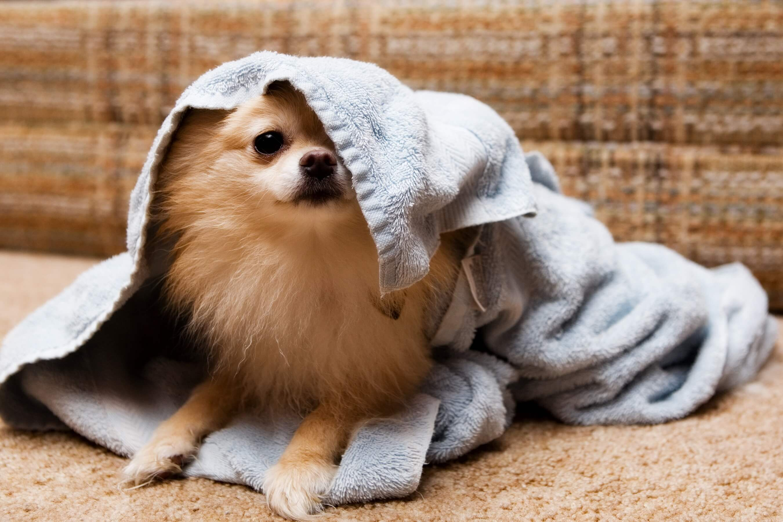 Hund wird nach dem Bad mit einem Handtuch abgetrocknet