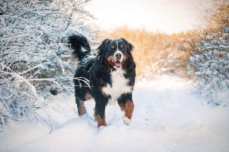 Berner Sennenhund im Schnee