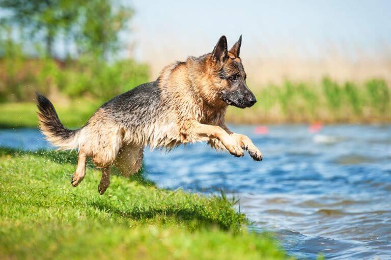 Der Deutsche Schäferhund braucht viel Bewegung