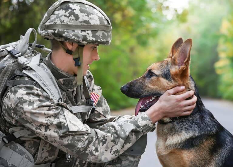 Der Deutsche Schäferhund ist ein beliebter Militärhund