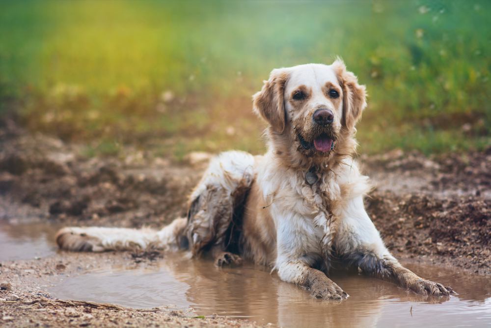 Hund im Schlamm