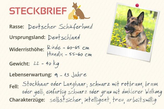 Deutscher Schäferhund Steckbrief