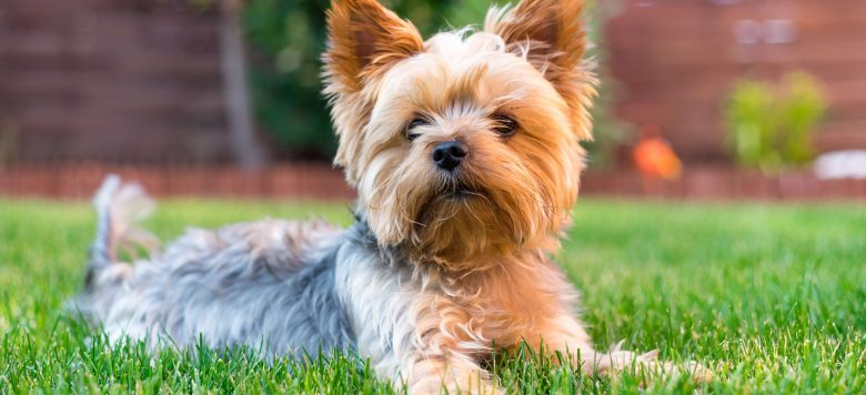 Yorkshire Terrier Stec...