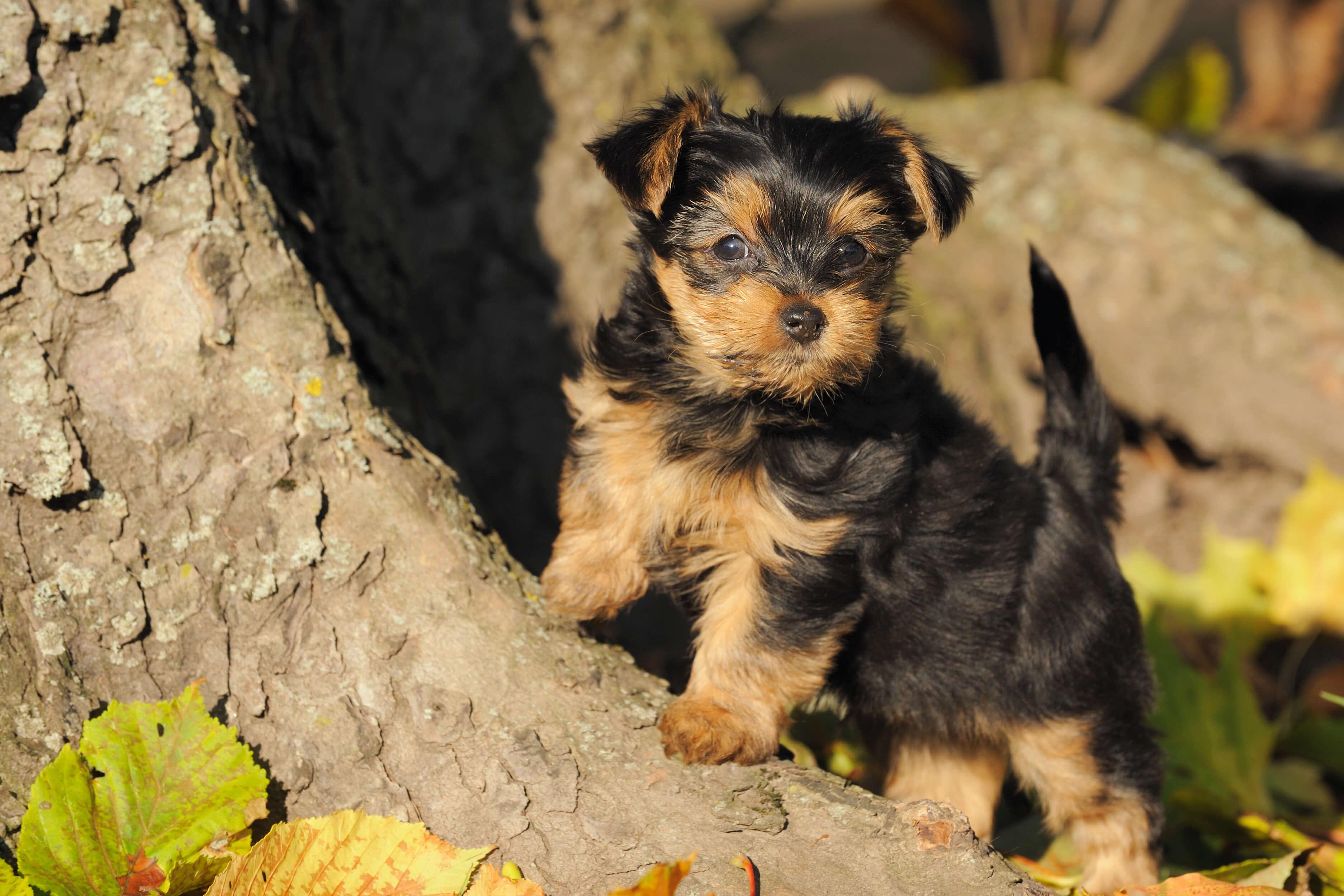 yorkshire terrier steckbrief charakter wesen haltung. Black Bedroom Furniture Sets. Home Design Ideas