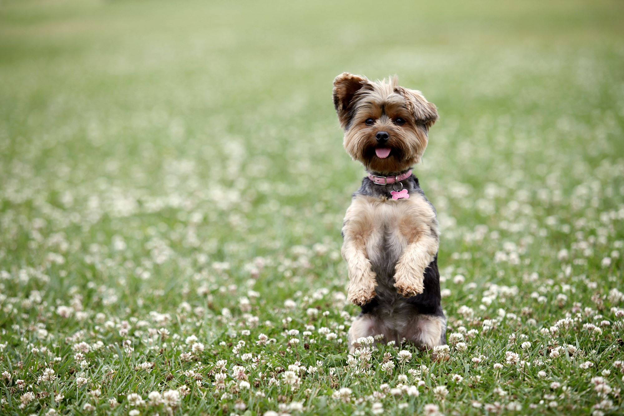 Dog Tricks For Small Dogs