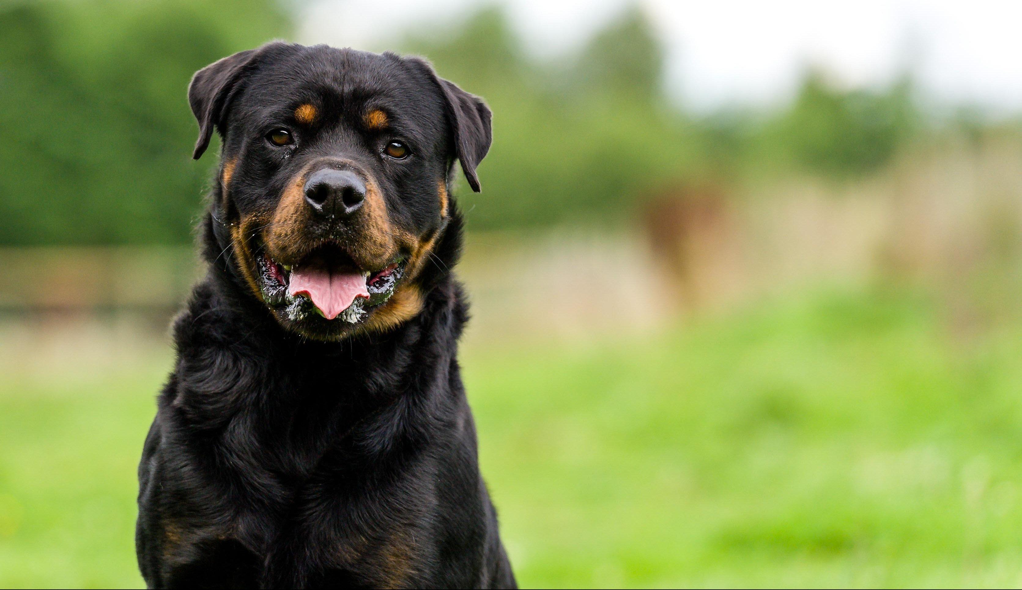 Listenhund