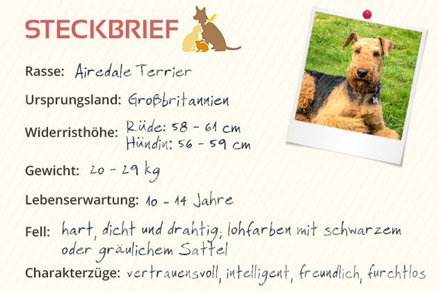 airedale terrier steckbrief mein haustier. Black Bedroom Furniture Sets. Home Design Ideas