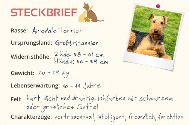 Airedale Terrier Steckbrief