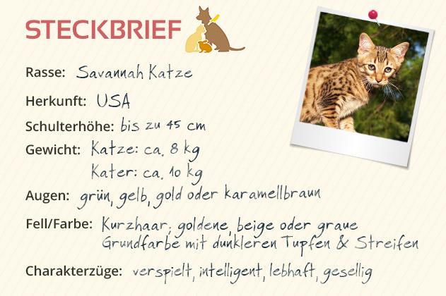 Savannah Katze Steckbrief