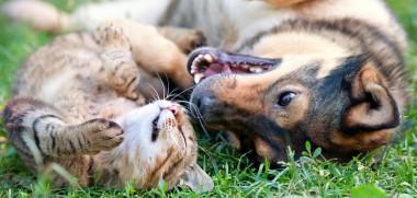 Hund und Katze auf Wiese spielen