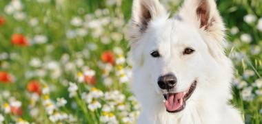 Weißer Hund auf Wiese mit Blumen