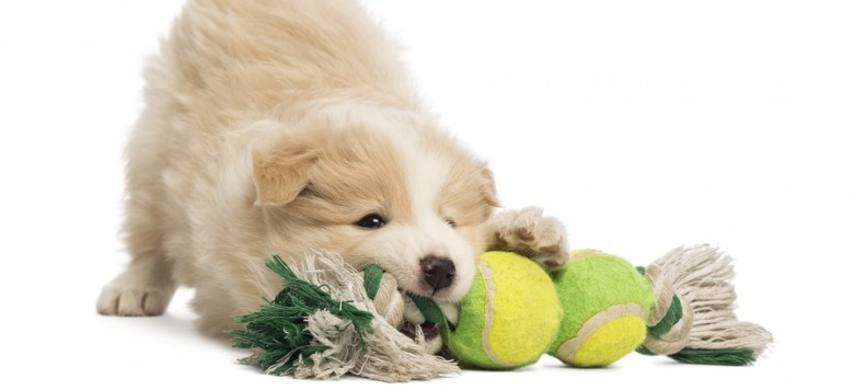 Border Collie puppy, 6 weeks old, playing with a dog toy in front of white background