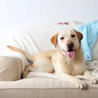 Hund auf Sofa