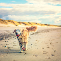 Golden Retriever carries his ball by the water iStock_000059533228_Large-2
