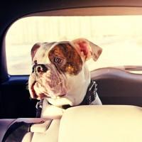 hund_auto_dog_car_211719508