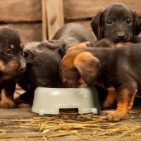 Hunde am essen