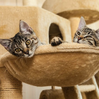 cat in cat furmiture two gray tabby kitten sitting inside  beige cat furniture looking curiously and tired out , sideview