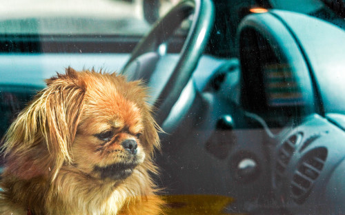 A cute little dog left alone in the car iStock_000001845270_Large-2