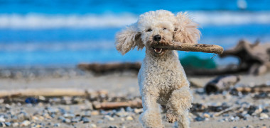 Dog running with stick in the mouth on the shore iStock_000076295281_Large-2